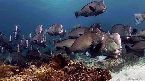humphead parrotfish - Banda Sea Diving