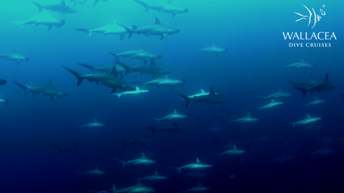 School of hammerhead sharks in Banda Sea - Indonesia Liveaboard - Wallacea Dive Cruise